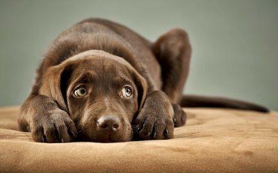 ¿Por qué mi perro tiene ansiedad por separación?