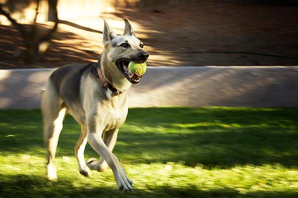 4 Etapas para adiestrar un perro a traer la pelota