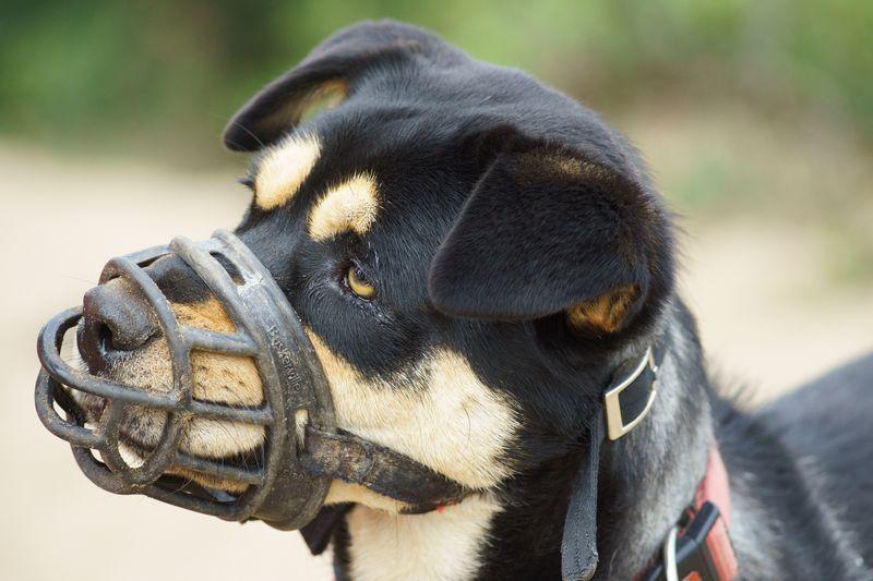 5 Etapas para acostumbrar a un perro a llevar Bozal