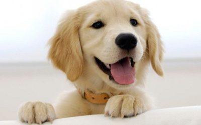 6 Maneras de elegir un buen cachorro