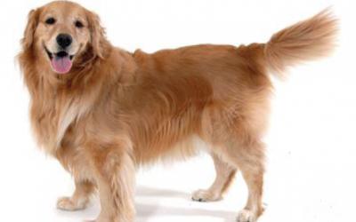 ¿Sabes interpretar la cola de los perros?