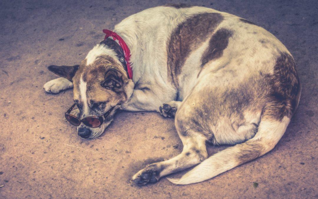 Tratar y prevenir la indigestión en los perros.
