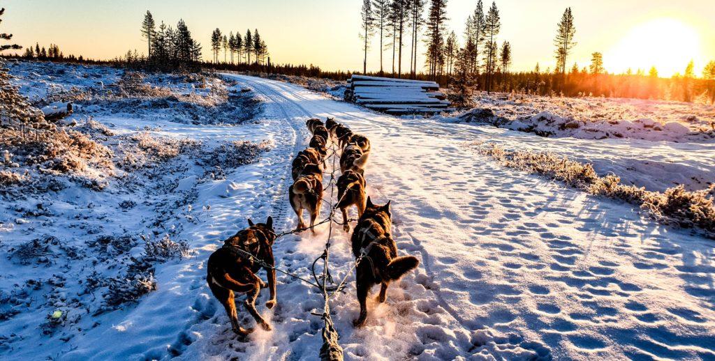 diferencias entre los perros y los lobos