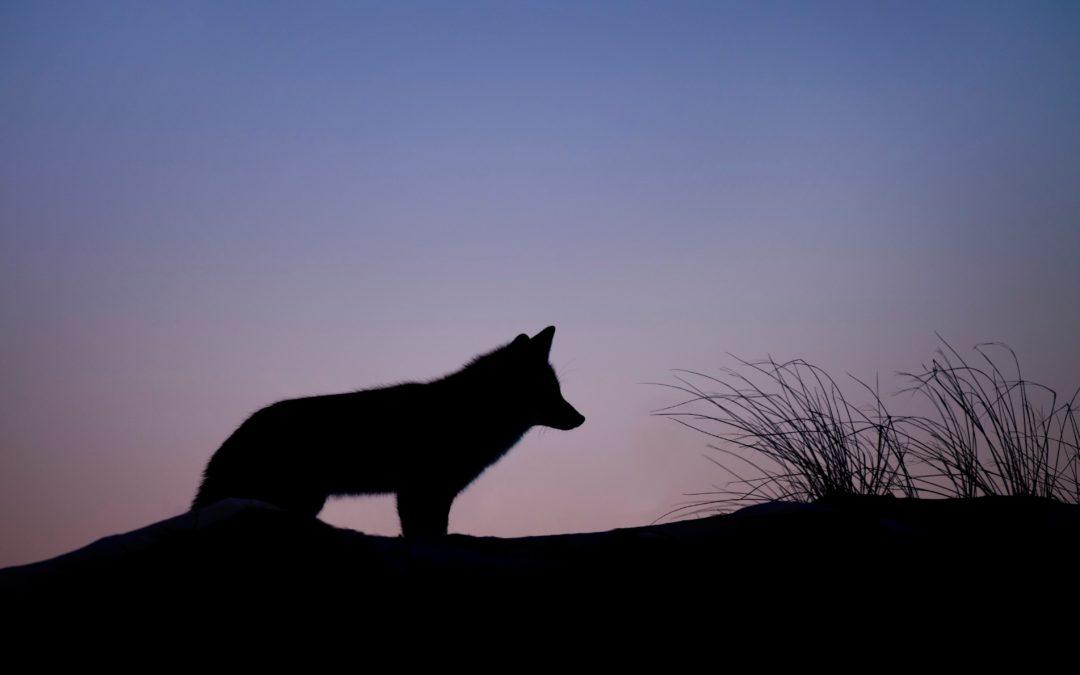 Diferencias entre los perros y los lobos.