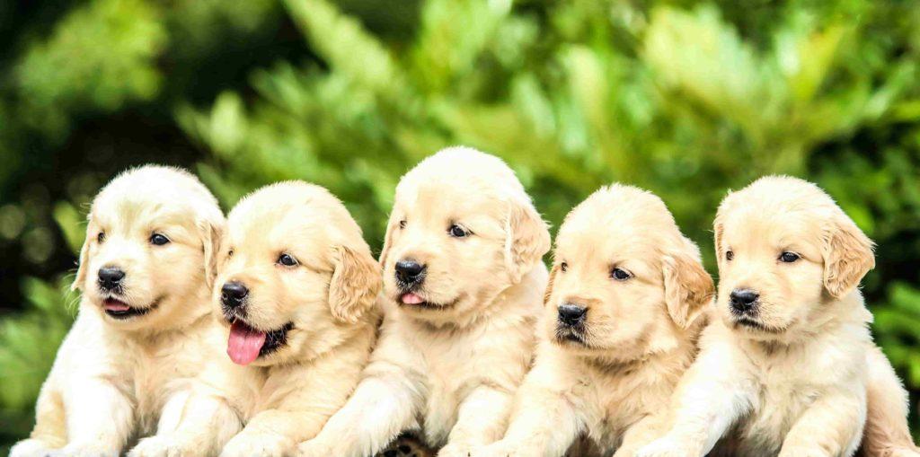 encontrar perros ideal manada de perros