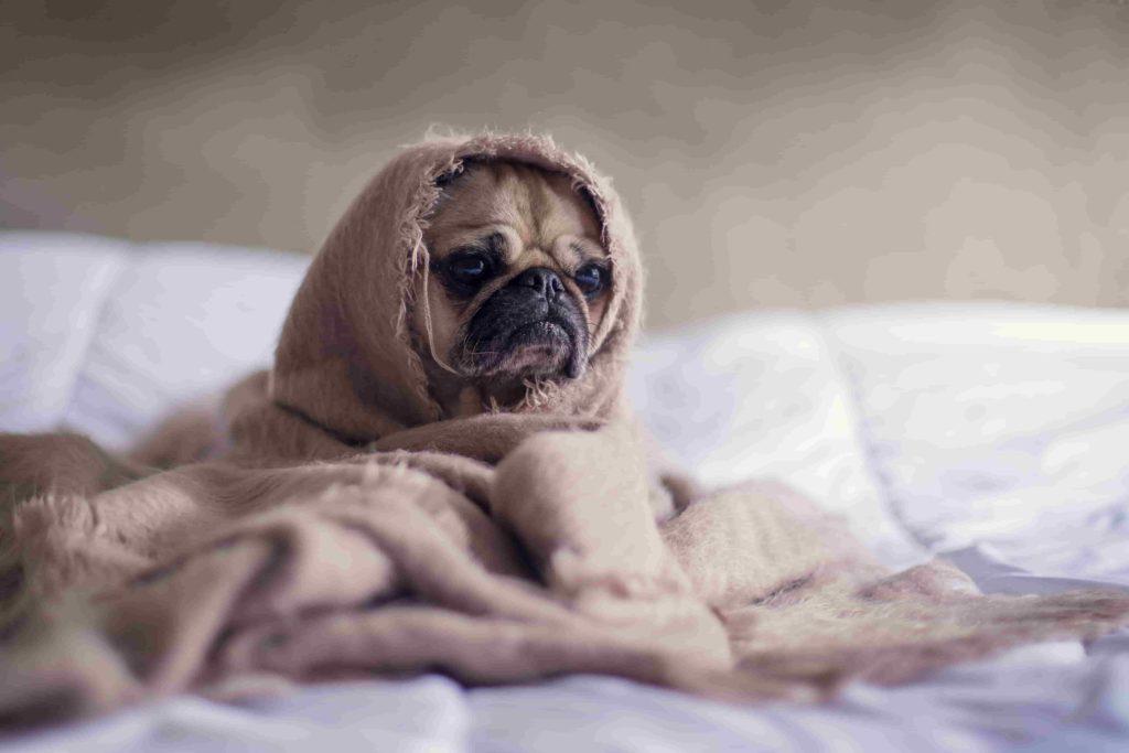 perro enfermo en la cama